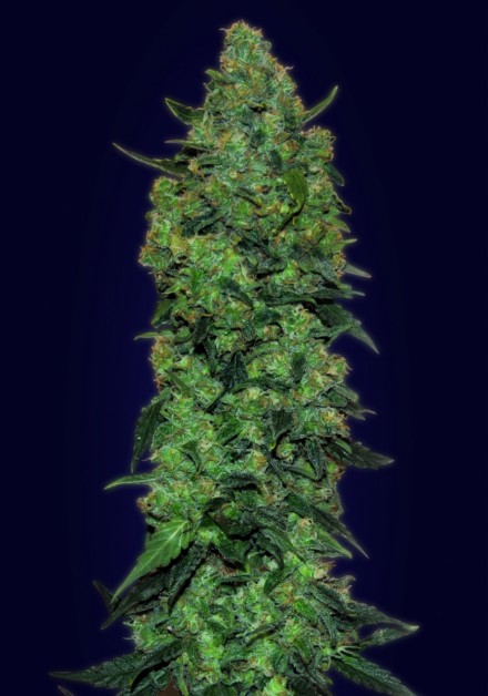 Auto Skunk Mass Auto Florecientes (1  Unidades) ADVANCED SEEDS