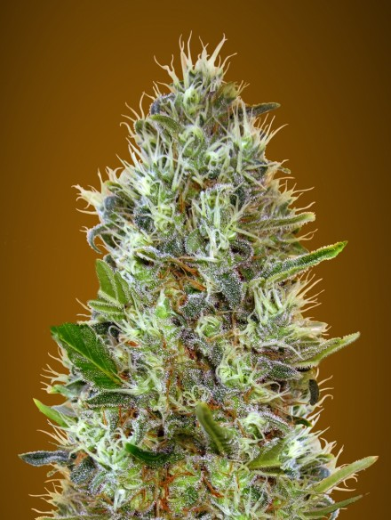Auto Somango Auto Florecientes (10 Unidades)  De 60 a 65 dias  Advanced Seeds