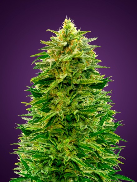 Auto Amensia  Auto Florecientes (3  Unidades)  De 70 a 80 dias ADVANCED SEEDS