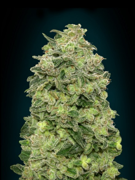 Auto Afghan Skunk  Auto Florecientes (3  Unidades)   De 65 a 75 dias ADVANCED SEEDS