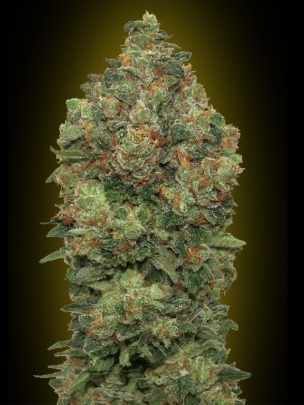 Auto Critical Soma  Auto Florecientes (3  Unidades)  De 70 a 80 dias ADVANCED SEEDS
