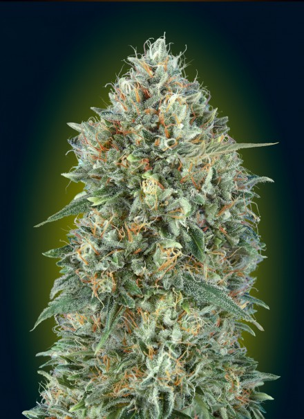 AUTO GELATO #33 Auto Florecientes (3 Unidades) ADVANCED SEEDS
