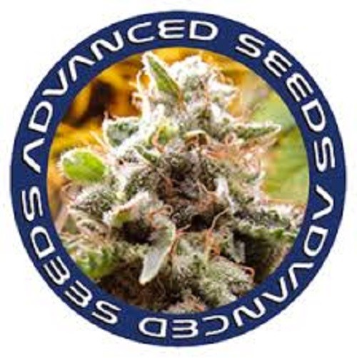 Amnesia  Feminizada (3  Unidades)   De 65 a 70 dias ADVANCED SEEDS