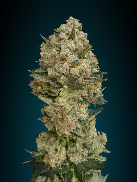 Critical Feminizada (3  Unidades) ADVANCED SEEDS