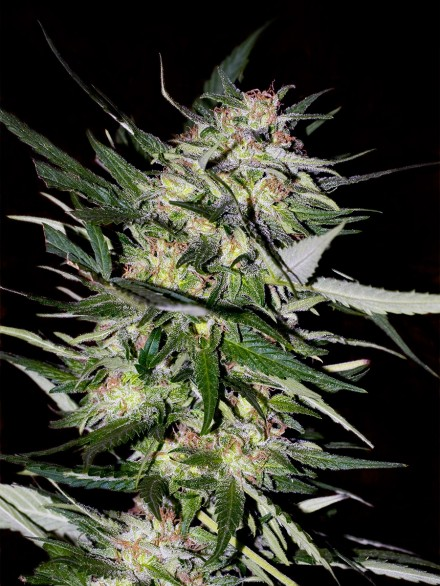 Jack Plant Feminizada (3  Unidades) ADVANCED SEEDS