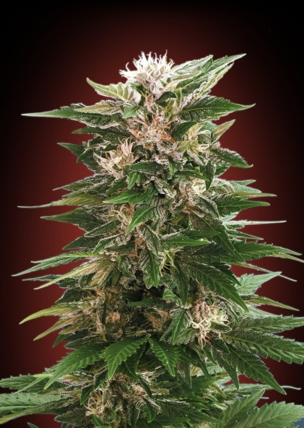 Kaya 47 Feminizada (3  Unidades) ADVANCED SEEDS