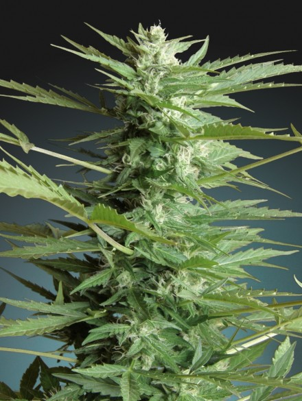 Sweet Dwarf Auto Florecientes (3  Unidades)  60 dias ADVANCED SEEDS