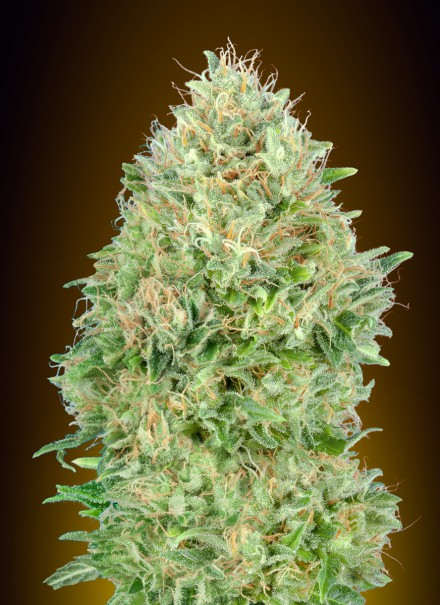 Pineapple Glue Feminizada (3 Unidades) ADVANCED SEEDS