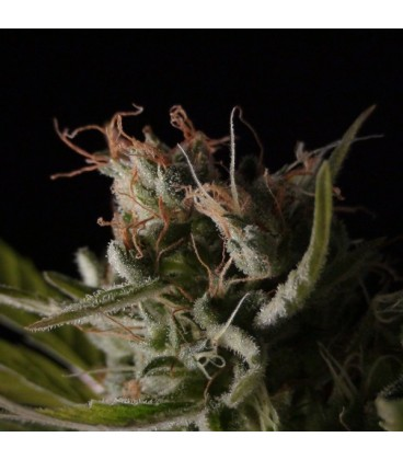 Little Boy  Genetica: (1 Unidades) BCN SEEDS