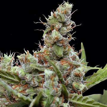 CBD Blue Shark Feminizada (5  Unidades) BARNEYS FARM