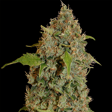 Chronic Thunder Feminizada (5  Unidades) BARNEYS FARM