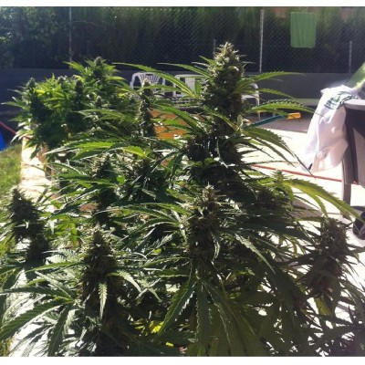 Auto Power  (25 Semillas) BIOHAZAR SEEDS