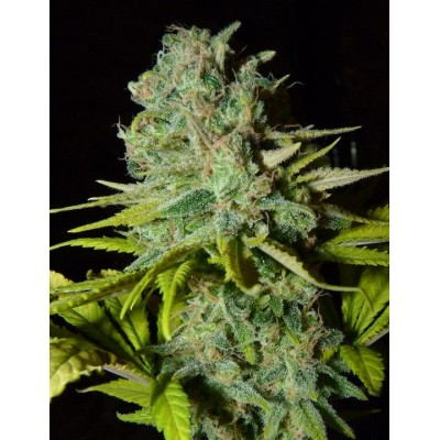Big Light Feminizada (25 Semillas) BIOHAZAR SEEDS
