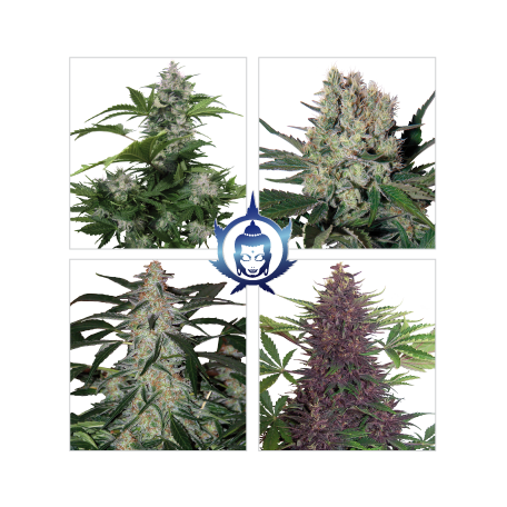 Assorted Auto Florecientes (3 Unidades)  Buddha Seeds