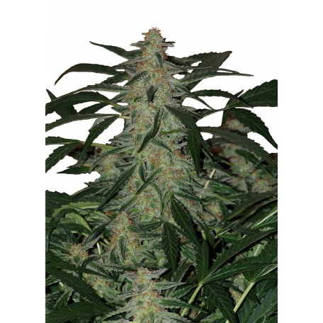 Deimos Blister Regulares (10 Unidades)  Buddha Seeds