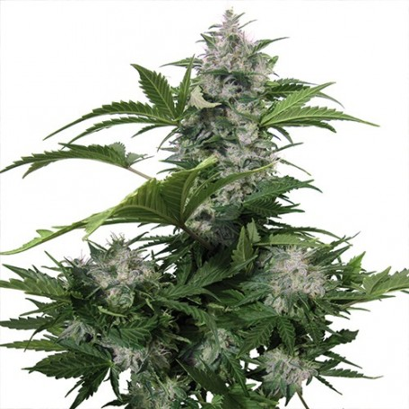 White Dwarf Regulares (15 Unidades)  Buddha Seeds