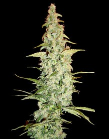 Cole Train 6 Fem. DNA Genetics
