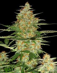 60 Day Wonder- Autoflower Auto Florecientes (6  Unidades) DNA GENETICS