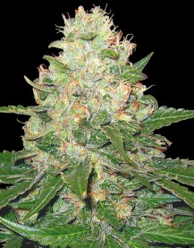 Rocklock 6 Fem. DNA Genetics