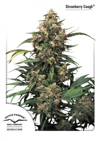 Strawberry Cough Feminizada (3 Unidades) DUTCH PASSION