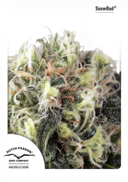 Snow Bud Feminizada (3 Unidades) DUTCH PASSION