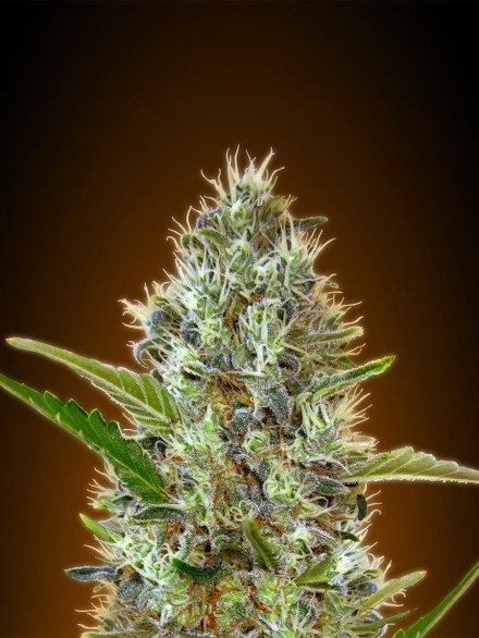 Afghan Skunk Feminizada (3  Unidades)  50 - 60 dias  Advanced Seeds