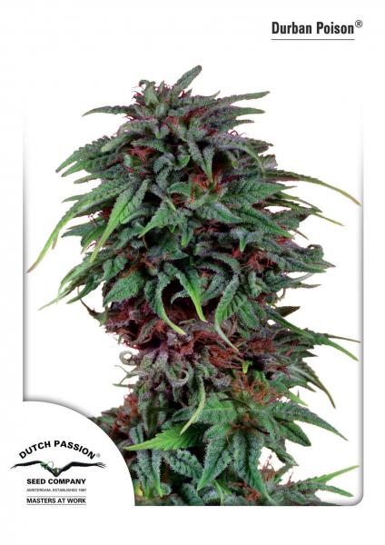 Durban Poison Feminizada (5 Unidades) DUTCH PASSION
