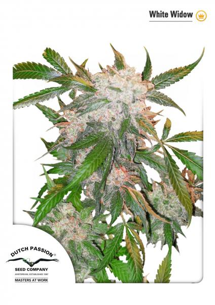 White Widow Feminizada (5 Unidades) DUTCH PASSION