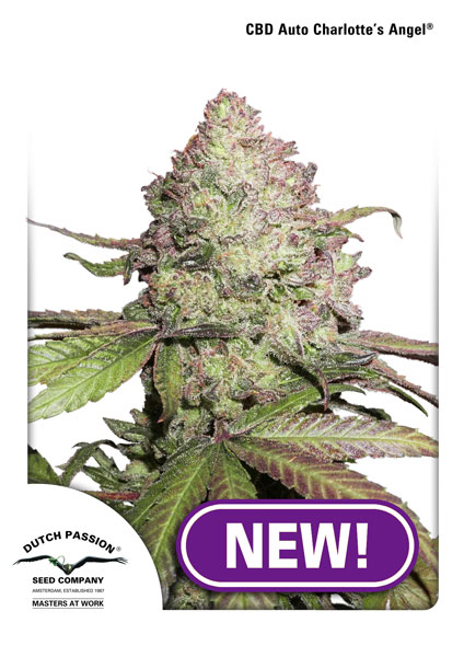 CBD Charlotte's Angel   () DUTCH PASSION