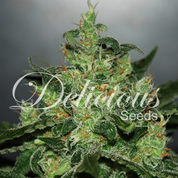 Critical X Jack Herer Auto Florecientes (3 Unidades) DELICIOUS SEEDS