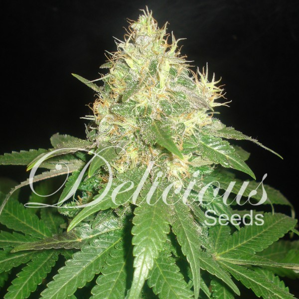 Northern Light Blue Auto Florecientes (3 Unidades) DELICIOUS SEEDS