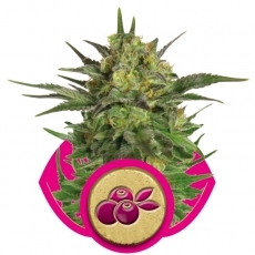 HAZE BERRY  Feminizada (3 Unidades) ROYAL QUEEN SEEDS