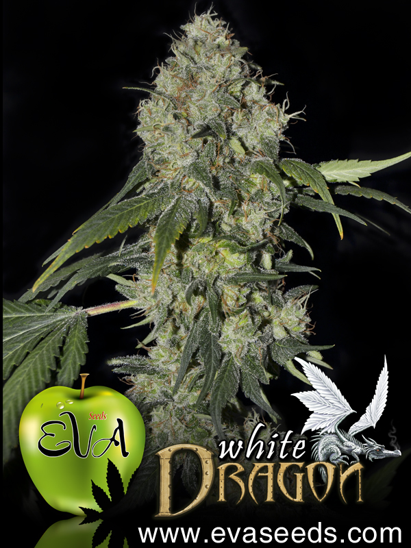 White Dragon Feminizada (3 Unidades) EVA SEEDS