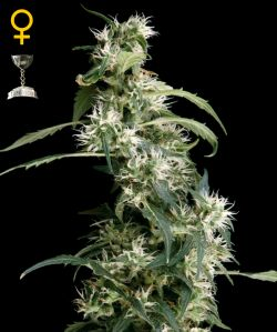Arjan's Ultra Haze #2 Feminizada (5 Unidades) GREEN HOUSE SEEDS