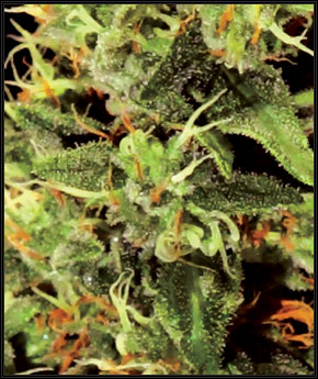 Big Bang Feminizada (5 Unidades) GREEN HOUSE SEEDS
