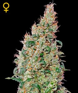 Green-O-Matic Auto Florecientes (5 Unidades) GREEN HOUSE SEEDS