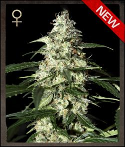 Greenhouse Skunk Feminizada (10 Unidades) GREEN HOUSE SEEDS