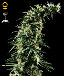 Hawaiian Snow Feminizada (5 Unidades) GREEN HOUSE SEEDS