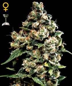Jack Herer Feminizada (5 Unidades) GREEN HOUSE SEEDS