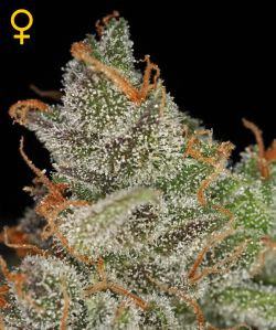 King Kush Feminizada (5 Unidades) GREEN HOUSE SEEDS