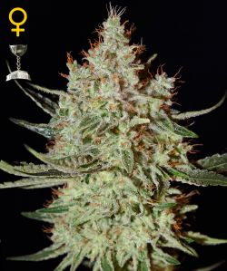 K-Train Feminizada (5 Unidades) GREEN HOUSE SEEDS