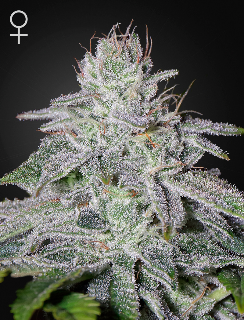 Franco's Lemon Cheese Feminizada (10 Unidades) GREEN HOUSE SEEDS