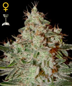 Lemon Skunk Feminizada (5 Unidades) GREEN HOUSE SEEDS