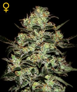Moby Dick Feminizada (5 Unidades) GREEN HOUSE SEEDS