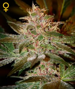 Pure Kush Feminizada (5 Unidades) GREEN HOUSE SEEDS