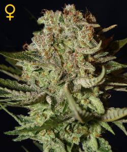Super Bud Feminizada (5 Unidades) GREEN HOUSE SEEDS