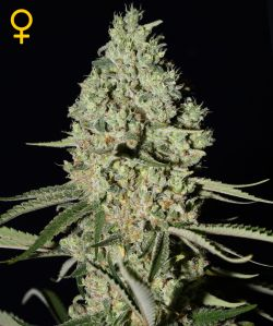 Super Critical Feminizada (5 Unidades) GREEN HOUSE SEEDS