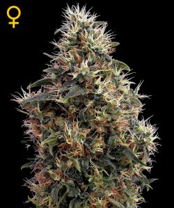 Sweet Mango Auto Auto Florecientes (3 Unidades) GREEN HOUSE SEEDS