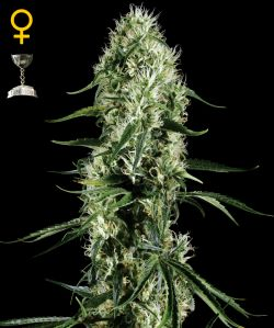 Super Silver Haze Feminizada (5 Unidades) GREEN HOUSE SEEDS