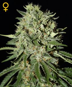The Doctor  Feminizada (3 Unidades) GREEN HOUSE SEEDS